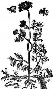 hanyz-ogrodny