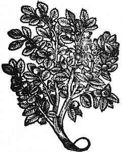 pigwy-siennik