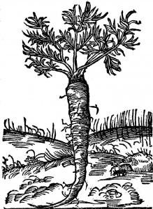 piretrum-bertram-ziele-sw-apolonii