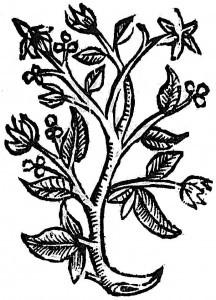 rajskie ziarna (kardamon)