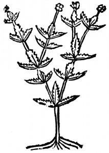 trzebula