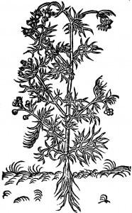 rumien (rumianek)