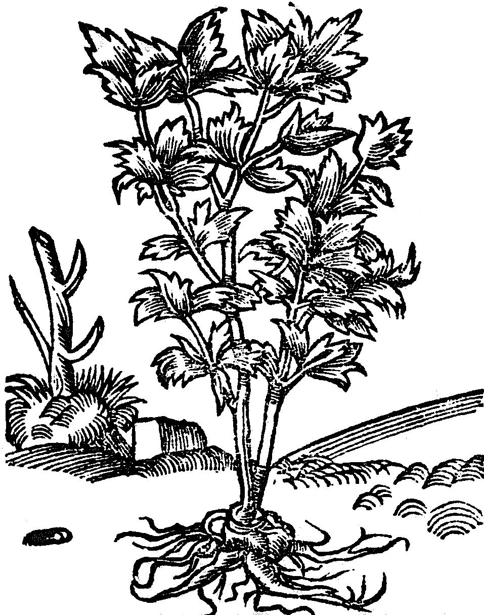 lubszczek swojski