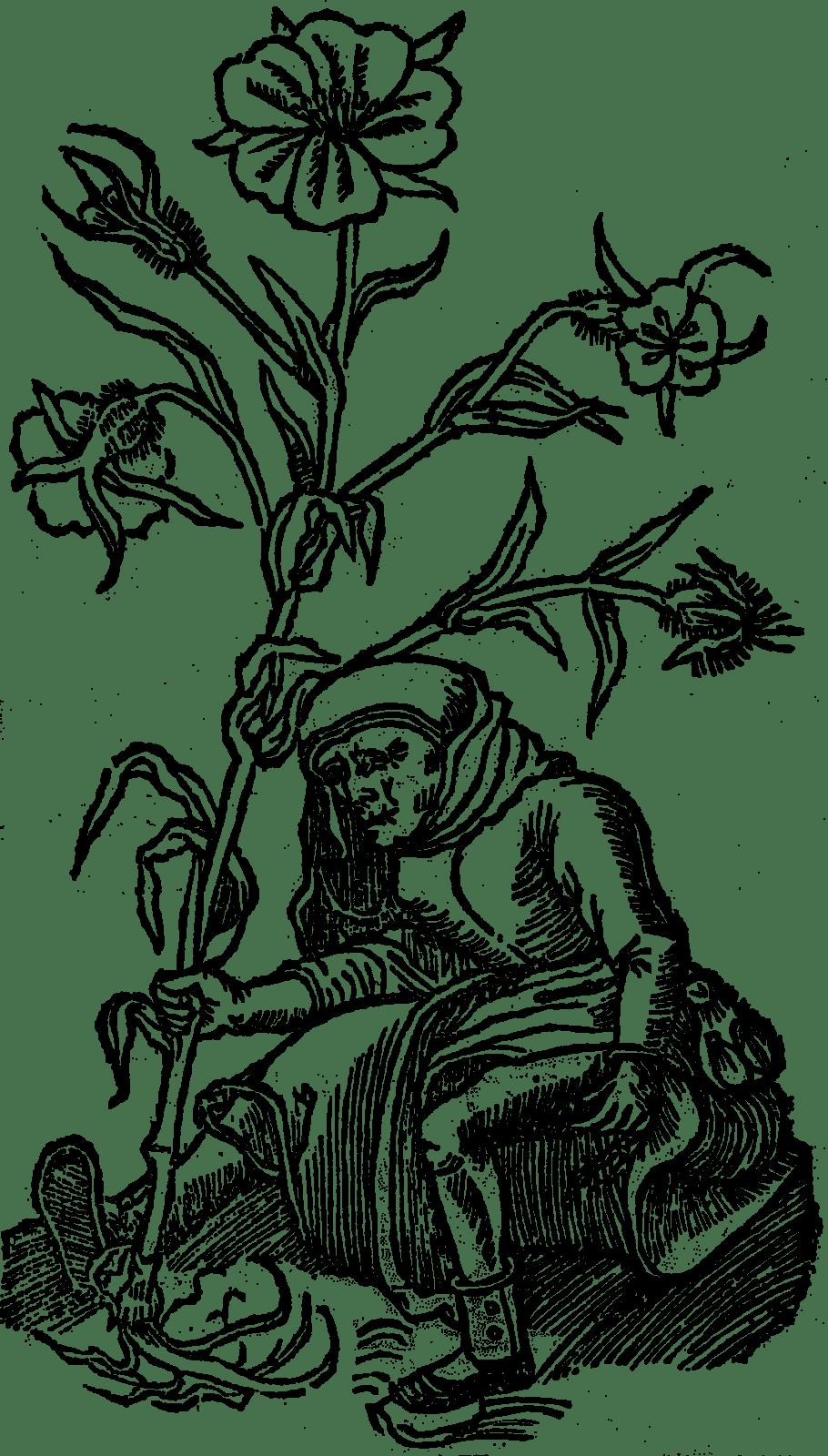 kąkol