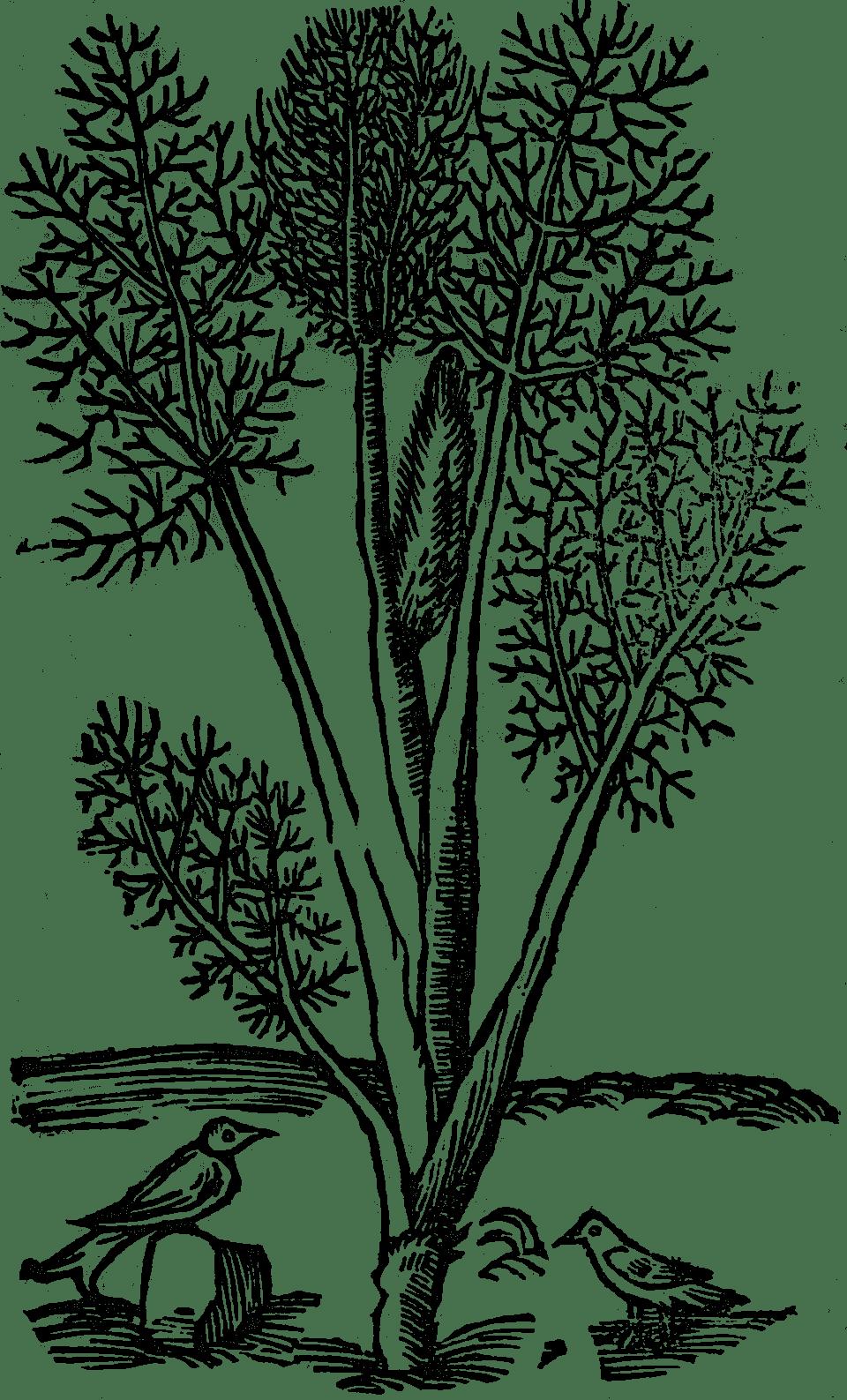 koper włoski czyli fenkuł