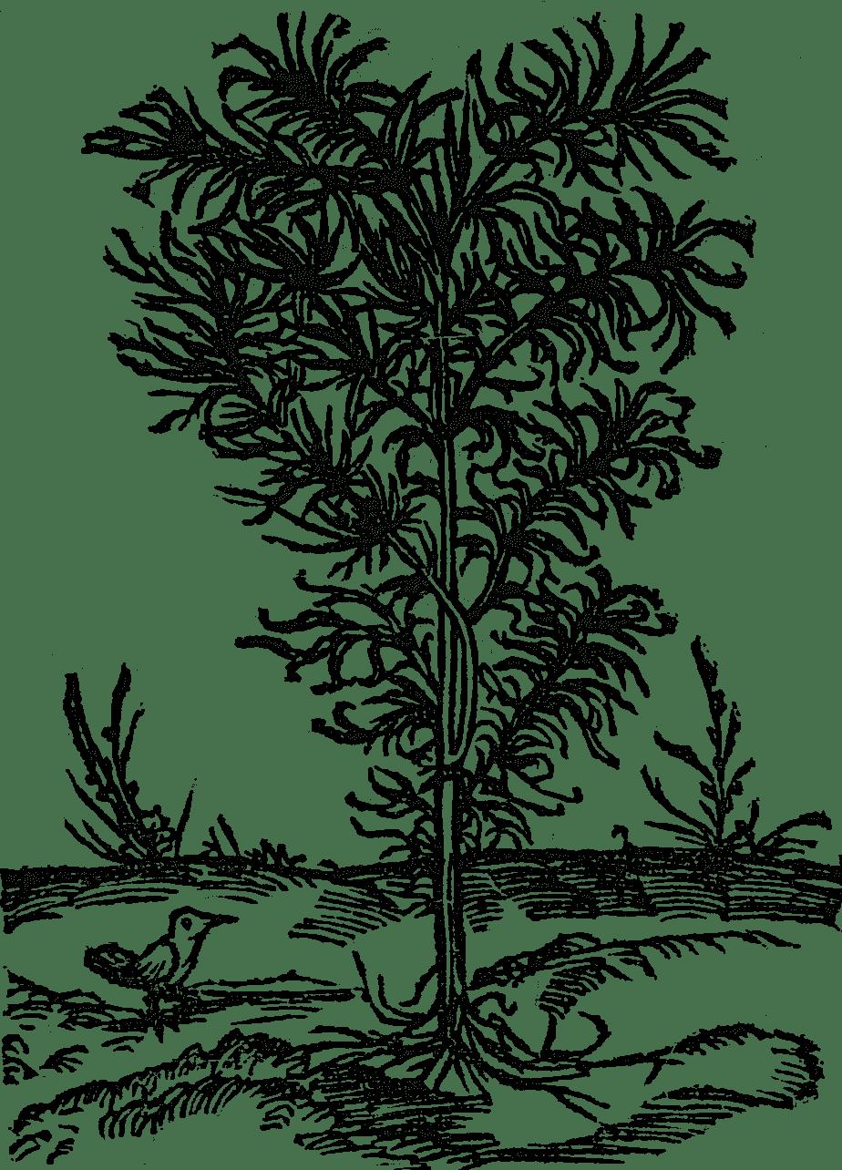 boże drzewko