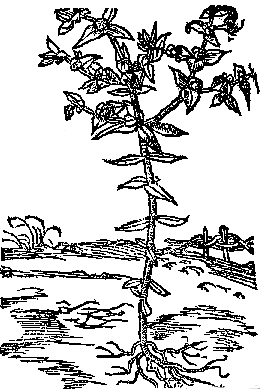 romanowo ziele