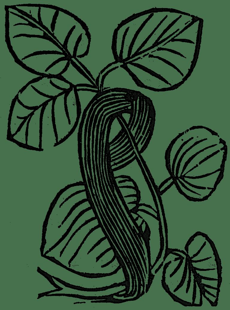 włoska kanianka