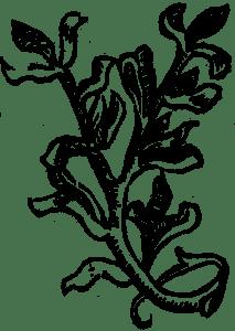 muszkatowy kwiat