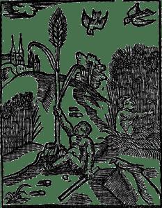 pszenica