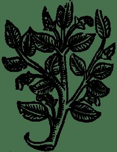 senesowe liście
