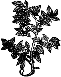 wiśnie białe